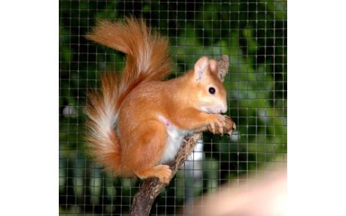Eichhörnchen (fuchsig rot)