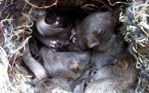 junge Eichhörnchen (Mutation silber-grau)