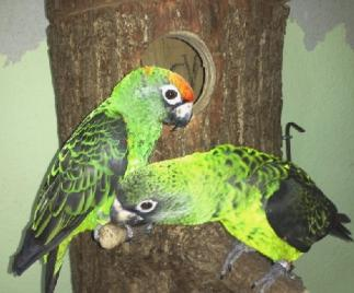 Nisthöhle für grüne Kongopapageien