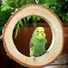Ringschaukel für kleine Vögel